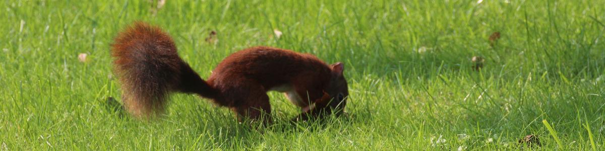 Ein Eichhörnchen befindet sich im typischen Jahresablauf und vergräbt im Rasen eine Nuss für den Winter.