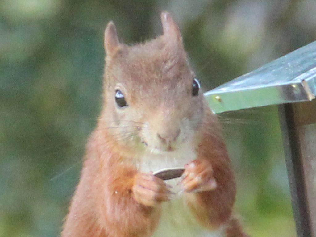 Ein Eichhörnchen sieht in die Kamera und frisst Eichhörnchen-Futter.