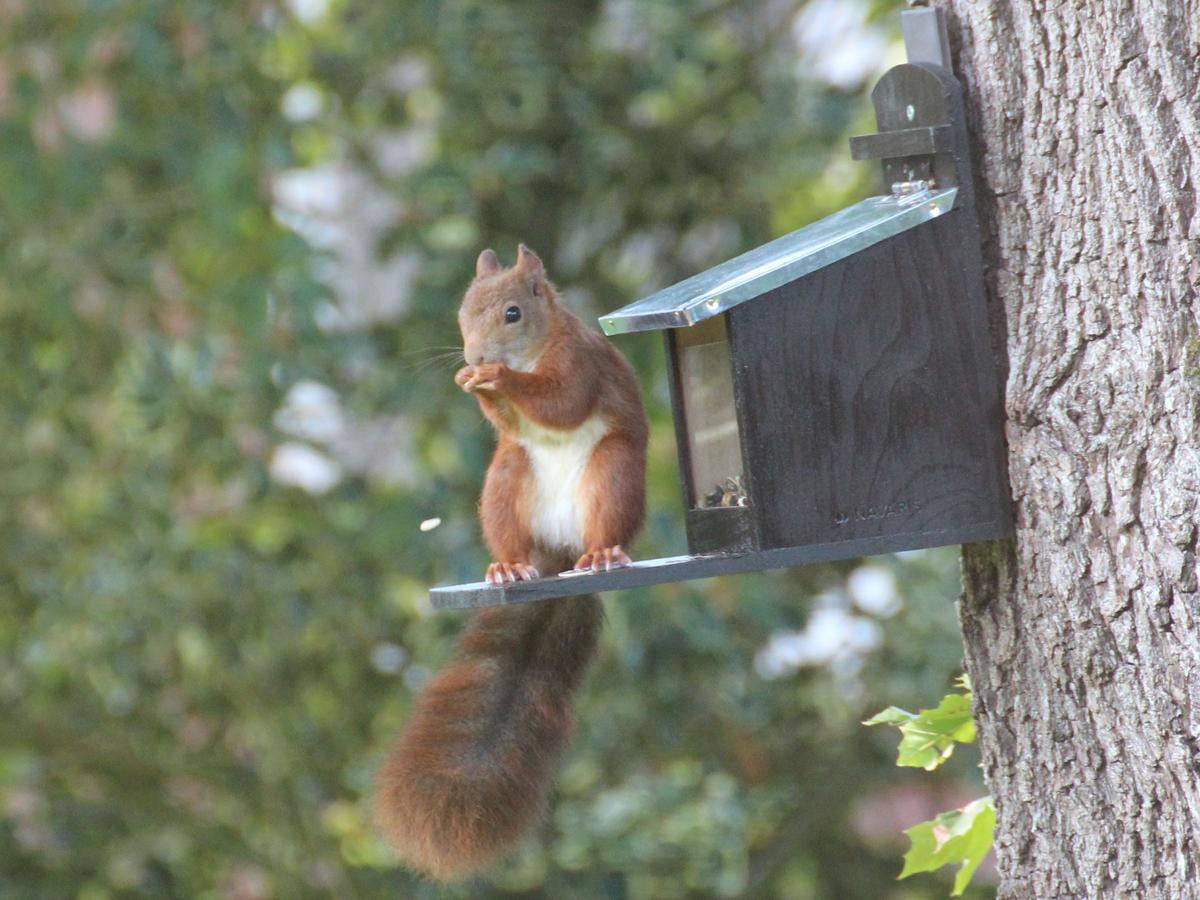 Das Bild zeigt eines unserer Eichhörnchen auf unserem Eichhörnchen-Futterhaus. Es sitzt auf der Futterhaus-Plattform und frisst einen Sonnenblumenkern.