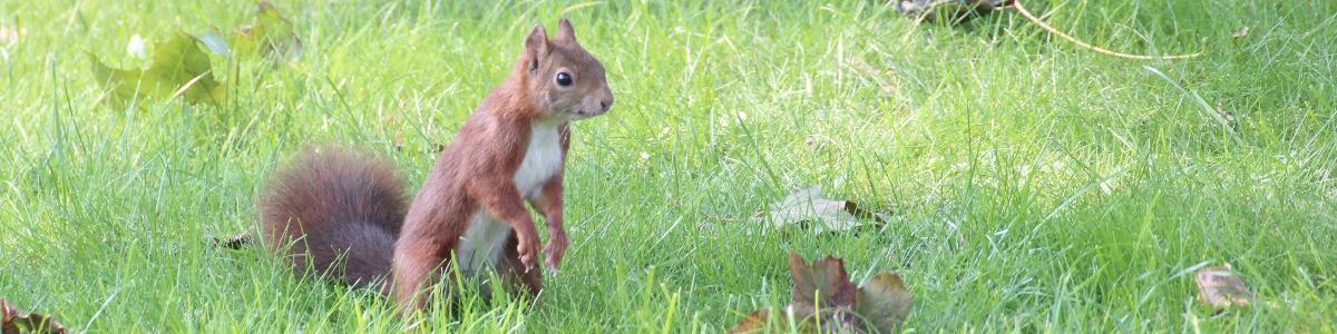 Ein Eichhörnchen steht auf zwei Beinen im Gras und guckt neugierig.