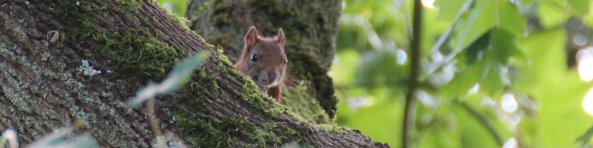 Ein Eichhörnchen sitzt im Baum, wo es überlegt, einen Eichhörnchen-Kobel zu bauen.