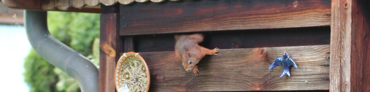 Ein Eichhörnchen klettert aus einem Gartenschuppen.