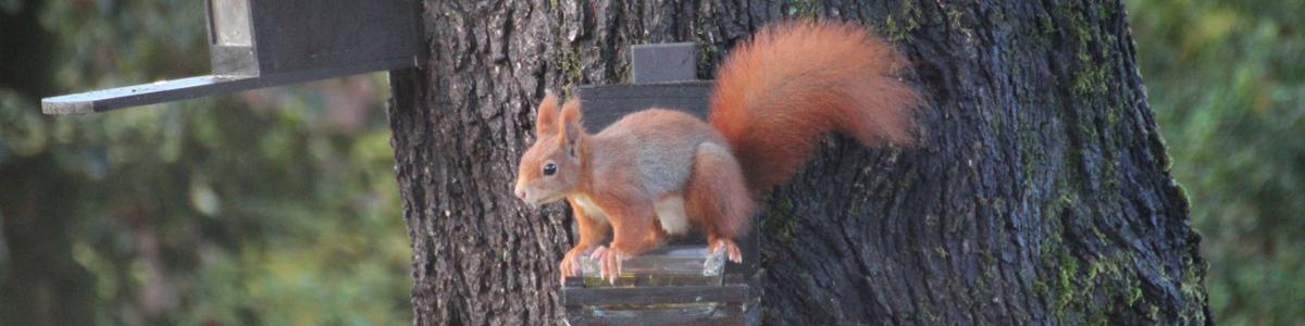 Das Bild unserer Eichhörnchen Kalender 2021 Seite zeigt ein Eichhörnchen, das auf einer Tränke am Baum sitzt.