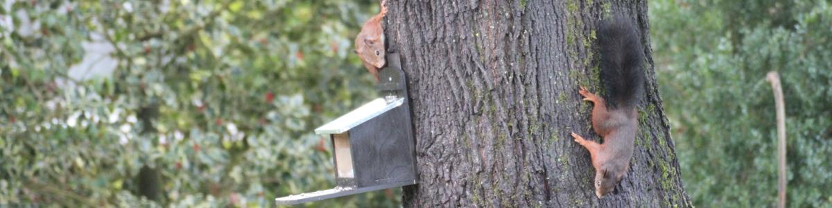 Das Bild zeigt zwei Eichhörnchen zur Paarungszeit, die neben einem Eichhörnchen-Futterhaus am Baum klettern.