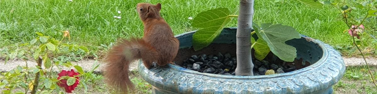 Das Bild unserer Eichhörnchenkalender 2022 Seite zeigt ein Eichhörnchen, das auf einem blauen Blumentopf im Beet sitzt. Es hat dem Betrachter den Rücken zugewandt und reckt neugierig die Schnauze in die Höhe.